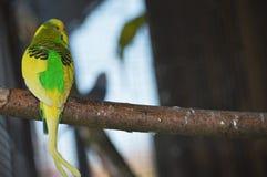 Papagei im Vogelhaus auf hölzernem Stock Stockbild