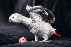 Papagei Jaco verbreitete seine Flügel stockfotografie