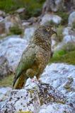 Papagei Kea (Nestor) stockbild