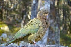 Papagei Kea (Nestor) lizenzfreies stockfoto