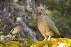 Papagei Kea (Nestor) lizenzfreies stockbild