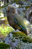 Papagei Kea (Nestor) lizenzfreie stockbilder