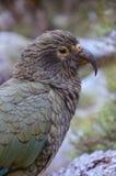Papagei Kea (Nestor), Nelson Lakes National Park lizenzfreie stockfotografie