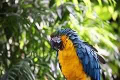 Papagei mit den gelben und blauen gekräuselten Federn Lizenzfreies Stockbild