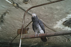 Papagei mit Kettenbindung Lizenzfreie Stockfotos