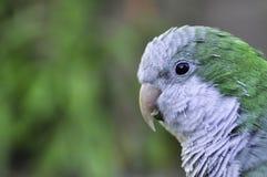 Papagei Myiopsitta-monachus Argentinien lizenzfreie stockbilder