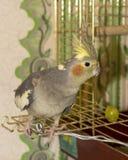 Papagei nahe der Zelle Lizenzfreies Stockbild
