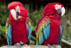 Papagei oder Macaw stockfoto