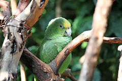Papagei oder Macaw mit den grünen und gelben Federn Lizenzfreie Stockfotografie