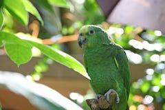 Papagei oder Macaw mit den grünen und gelben Federn Stockbild