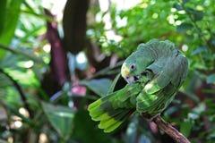 Papagei oder Macaw mit den grünen und gelben Federn Lizenzfreies Stockfoto