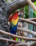 Papagei in rotem Gelbem und blau Stockfotografie
