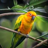 Papagei Sun-Conure Stockfoto