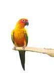 Papagei Sun Conure, der auf einer Niederlassung lokalisiert auf weißem Hintergrund schreit Stockfotos