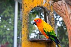 Papagei Sun Conure, Papagei Sun Conure Stockbilder