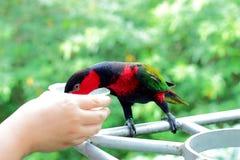 Papagei, trinkend von der Hand Lizenzfreies Stockbild