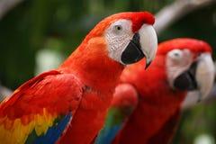 Papagei-Zwillinge Lizenzfreies Stockfoto