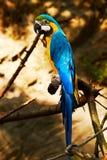 PapageiAra ararauna Stockfotografie