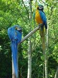 Papageien Lizenzfreie Stockfotografie