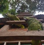 Papageien auf einer Leiter im Amazonas Lizenzfreies Stockfoto