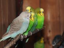 Papageien auf Niederlassung lizenzfreie stockfotografie