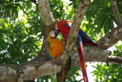 Papageien in Costa Rica Lizenzfreies Stockfoto
