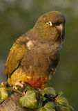 Papageien (Cyanoliseus patagonus) graben Lizenzfreie Stockfotografie