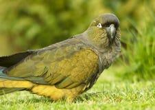 Papageien (Cyanoliseus patagonus) graben Stockfoto