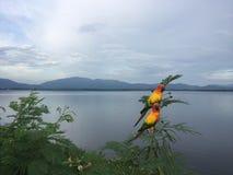 Papageien in der Natur auf der Kante in der Verdammung Chonburi, Thailand Stockbild