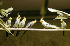 Papageien, die auf einer Stange sitzen Stockbilder