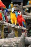 Papageien, die auf Niederlassung stehen Stockfoto