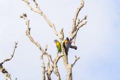 Papageien in einem Baum, der gerade heraus hängt Stockbild