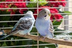 Papageien in einem Käfig Stockfoto