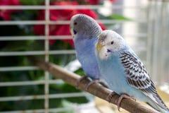 Papageien in einem Käfig Stockbild