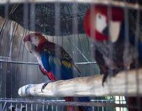 Papageien in einem Käfig lizenzfreie stockfotos