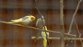 Papageien in einem Käfigspiel stock video footage