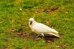 Papageien-Kakadu Stockfotografie