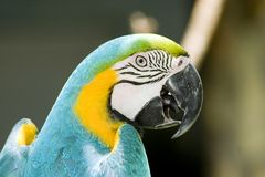 Papageien-Kopf Stockfoto