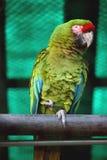 Papageien-Militärkeilschwanzsittich in Delhi-Zoo Stockfotografie