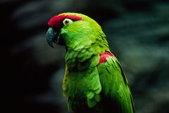 Papageien-Profil Lizenzfreie Stockfotografie