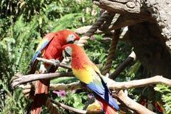 Papageien zusammen Lizenzfreie Stockfotos