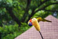 Papageienfütterung lizenzfreie stockfotos