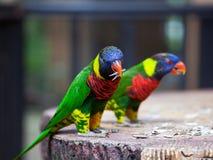 Papageienfütterungszeit Lizenzfreies Stockfoto