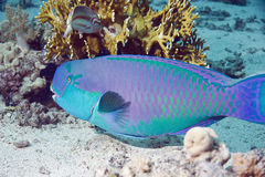 Papageienfisch Stockfotos