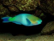 Papageienfisch lizenzfreie stockfotografie