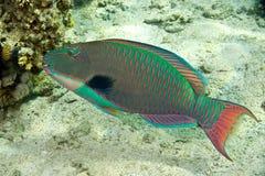 Papageienfisch stockbilder