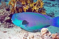 Papageienfisch lizenzfreie stockfotos