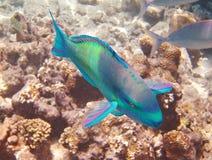 Papageienfische Stockbilder