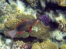 Papageienfische Stockfoto