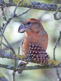 Papageiengegenwechsel Loxia pytyopsittacus Stockfotografie